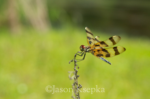 Dragons & Damsels (Odonata)