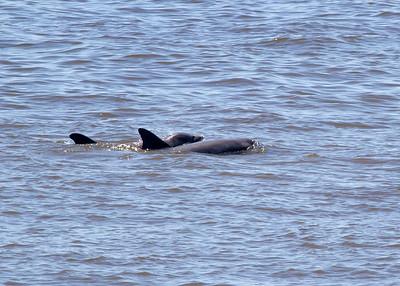 Atlantic Bottle-nose Dolphin