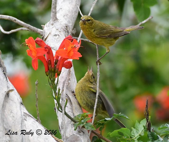 Orange-crowned Warbler  juvenile begging - 05/19/2016 - Point Loma Nazarene University