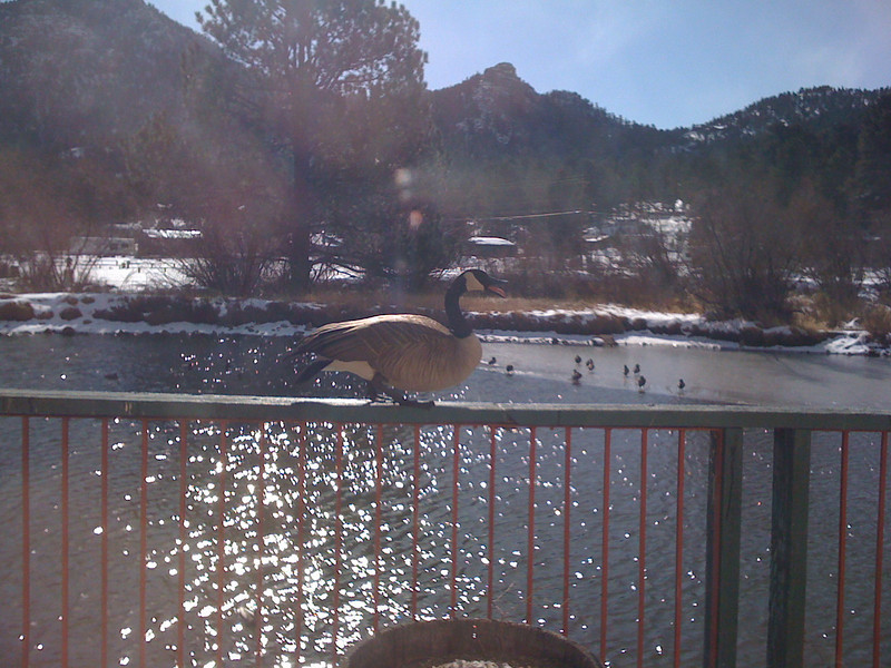 At Restaurant in Estes Park. This guy was trapsing back & forth. Show off!