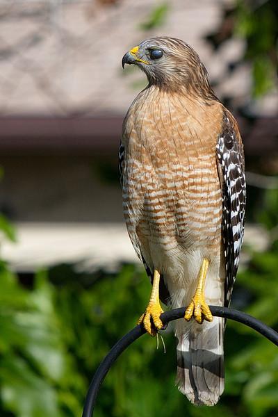 20130119 Red-shouldered Hawk Study