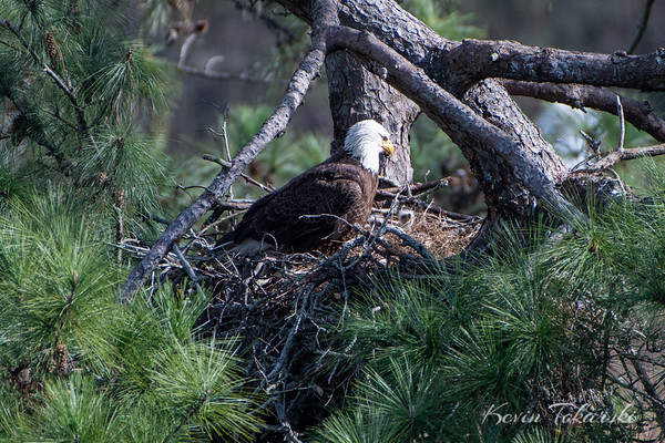 Eaglets In The Nest