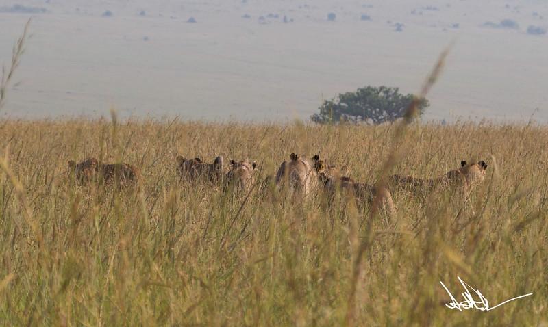 Lions Masai Mara - S-22.jpg