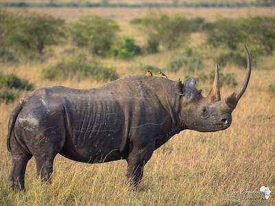 Perfect black Rhino