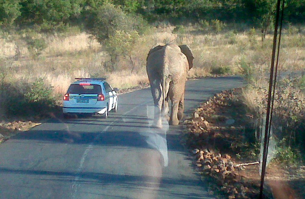 Description of . The photo provided by US soccer federation shows an elephant walking on the road in front of the US team bus outside the Bakubung Bush Lodge in Rustenberg, South Africa, Friday, June 11, 2010.  The U.S. team bus containing about 10 players going to an open-air market at the entrance to the team hotel got stuck in a traffic jam Friday caused by the elephant, spokesman Michael Kammarman said.  (AP Photo/US Soccer Federation, Michael Kammarman)