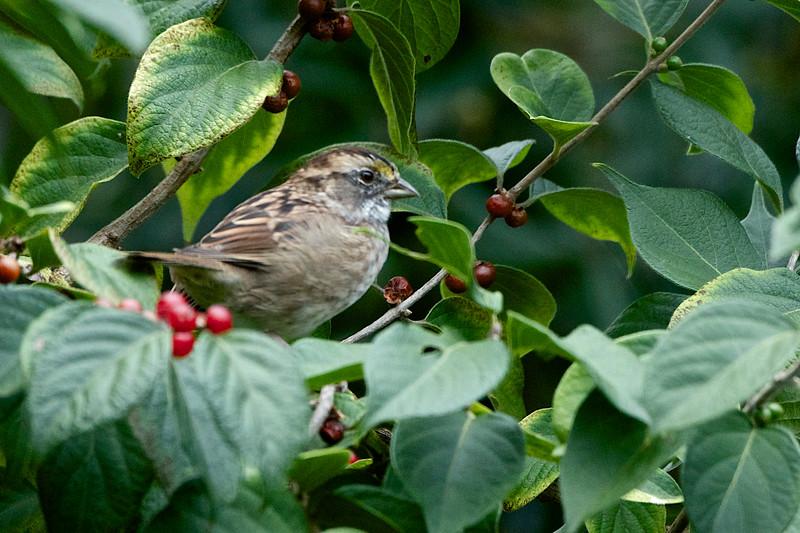 White-throated Sparrow 3 - Version 2.jpg