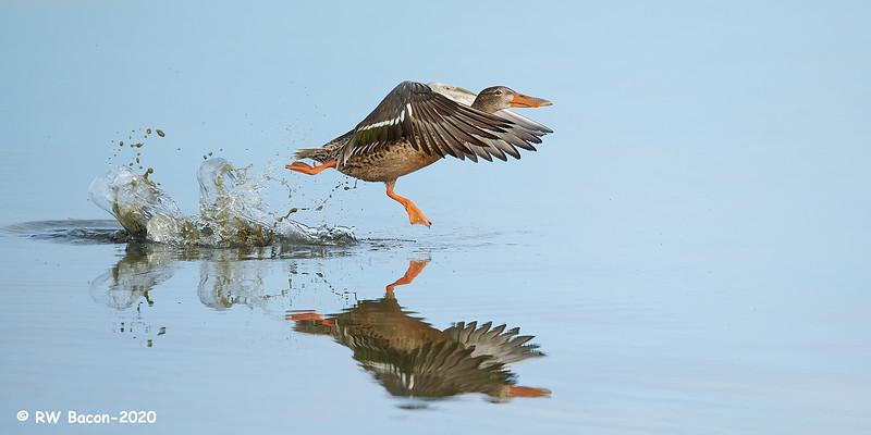Shoveler Hen Running Takeoff.jpg