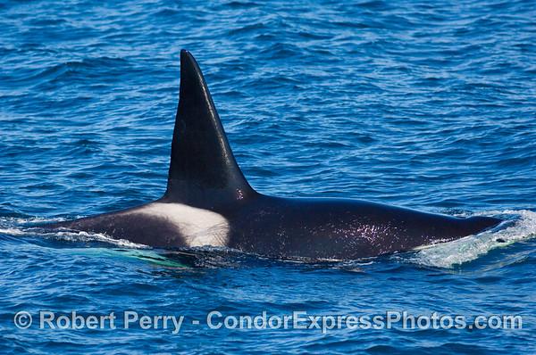2008 12-28 Condor Express --> Orcas !