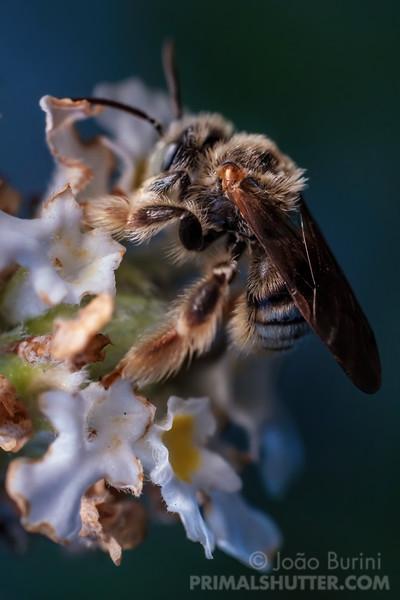 White wild bee