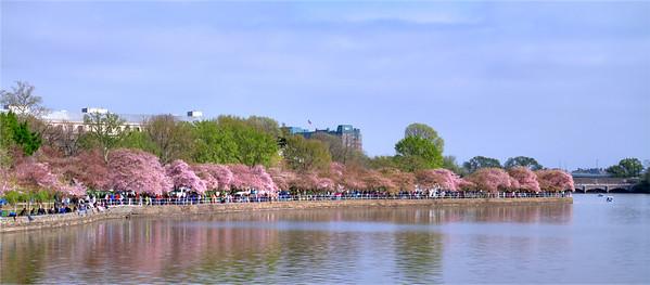 Cherry Blossom 2012