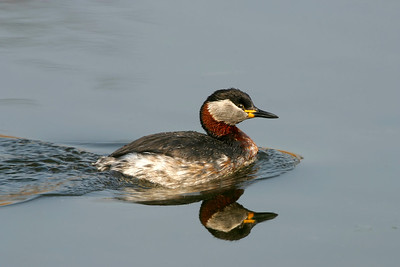 Gråhakedopping – Red-necked Grebe
