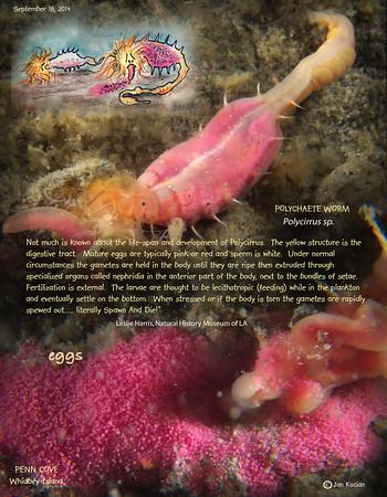 9.18.14 Polycirridae worm eggs S .jpg