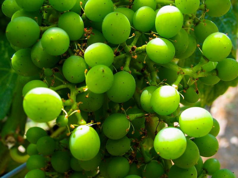 Grapes, Napa, California