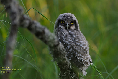 Owls, Finland  2011