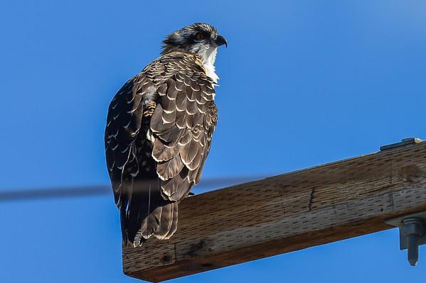 8 2013 Aug 19 Osprey Nest Day 3*