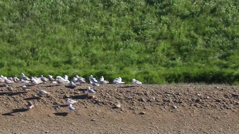 Gulls along the Recology Canal