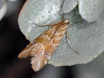 subfamily Glaphyriinae