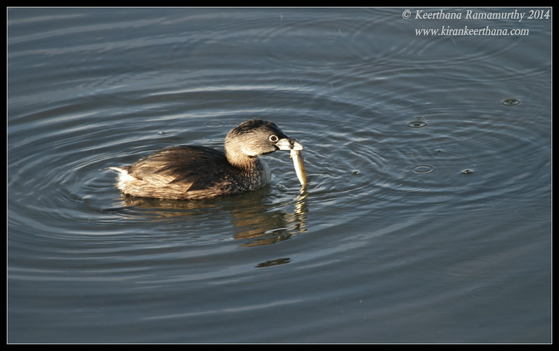 Pied-billed Grebe with catch, Robb Field, San Diego River, San Diego County, California, February 2014