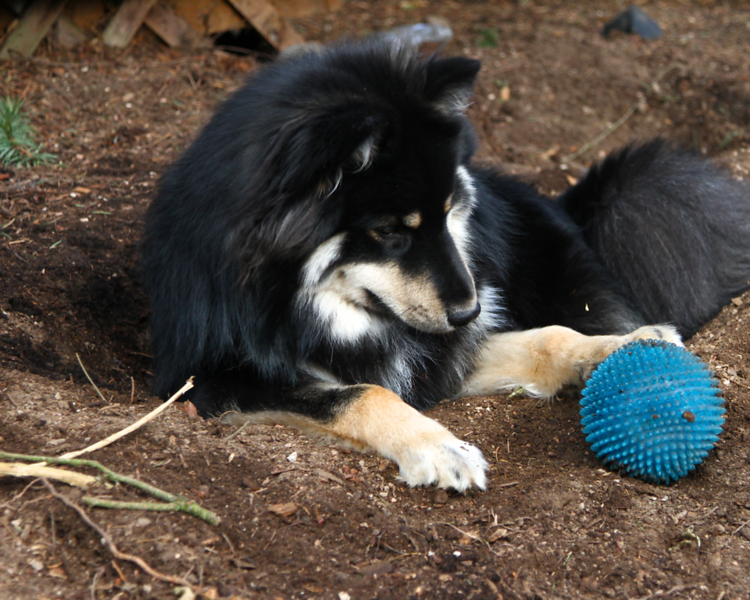 THIS IS THE LAYING DOWN PAW ROLL TECHINQUE  Onni has invented a game of letting the ball roll into the hole...then he finds an assortment of ways to push it out.  He never just picks it up to carry it out....thats no fun!!!
