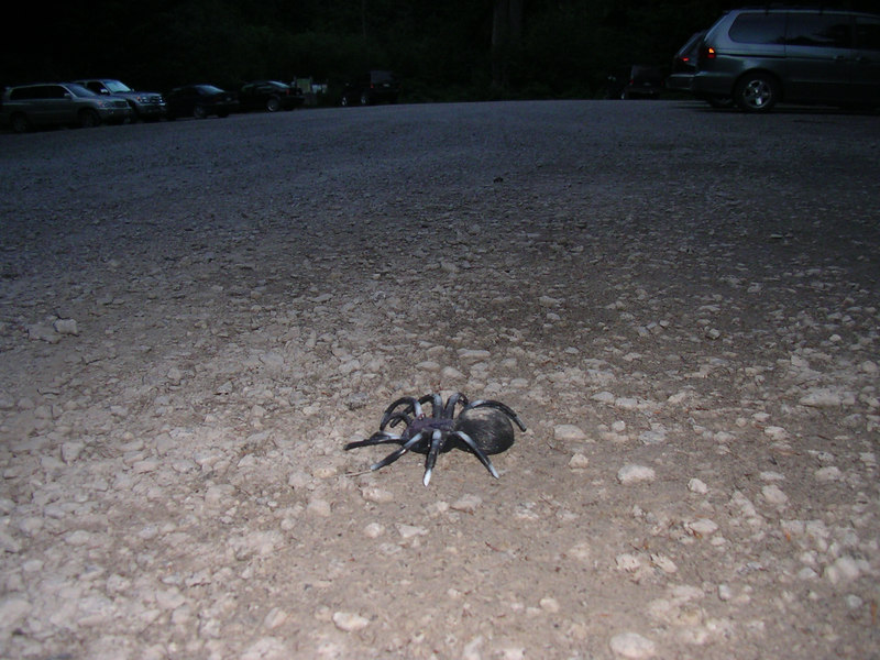 Big spider in the parking lot!