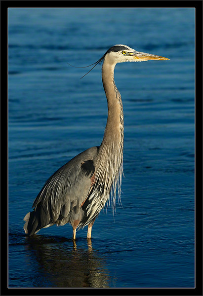 Great Blue Heron: Young Adult