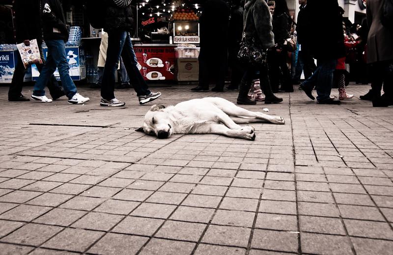 Stray dogs of Istanbul, Turkey