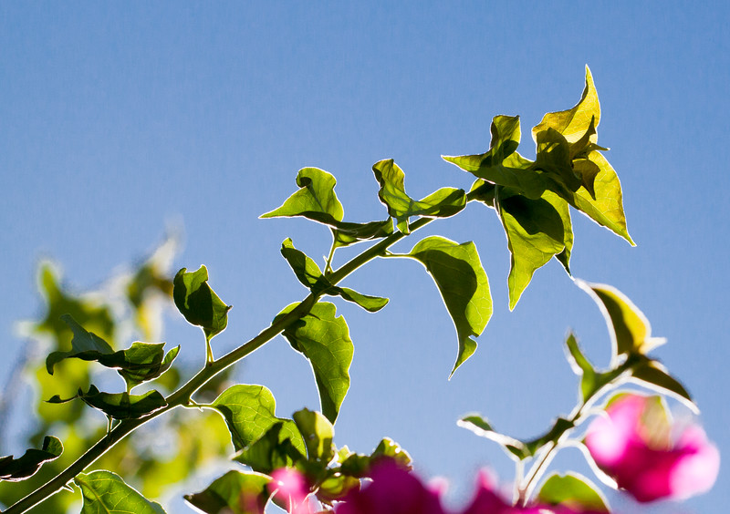 bougainvillea branch