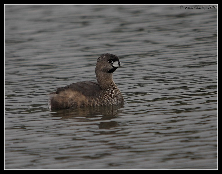 Pied-billed Grebe, Lake Murray, San Diego County, California, March 2010