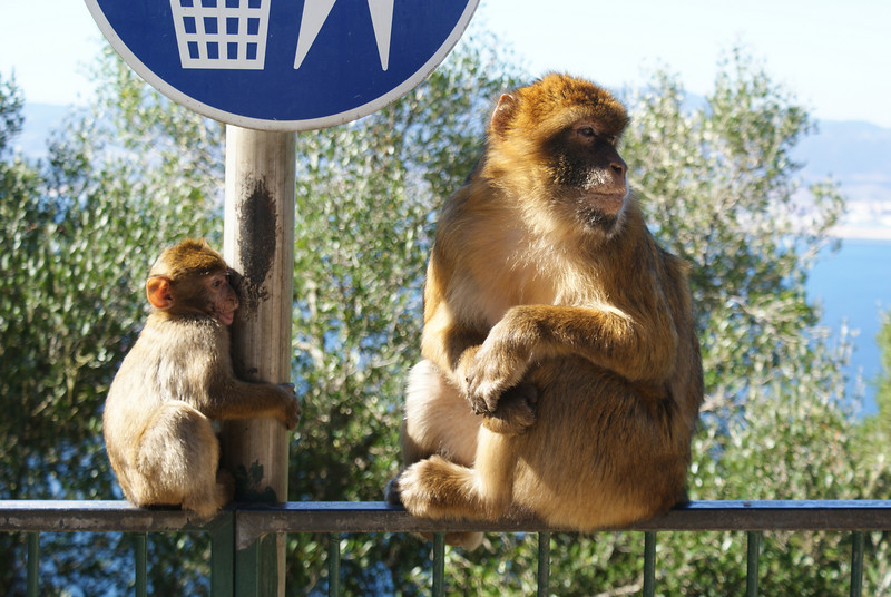 Gibraltar.  Only place in Europe with wild apes.  Those are apes?  Indeed.  Monkeys have tails.  Apes do not.  Since I don't have a picture of their butts you have to trust me.  No tails.