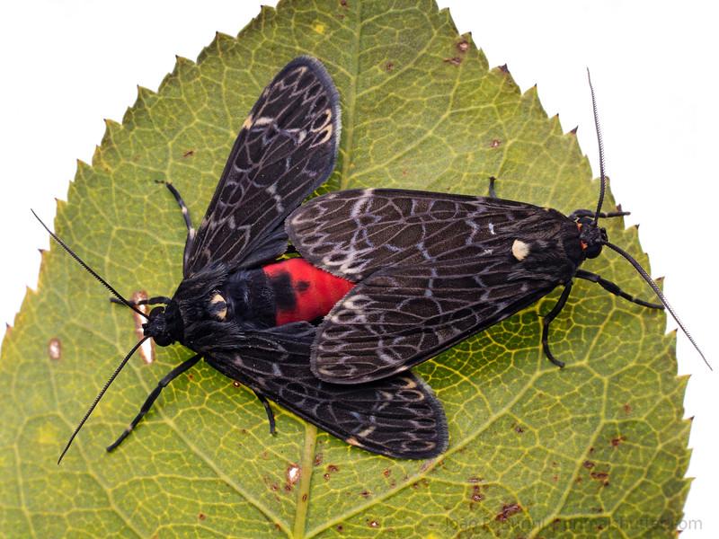 Moth (Eucereon sp.) Sorocaba, SP, Brazil Urban March 2014