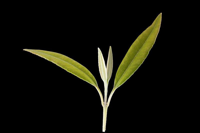 Lemon myrtle leaves 9p.jpg