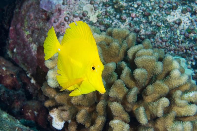 Frilly Yellow Tang.jpg