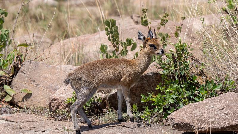 Tanzania-Serengeti-National-Park-Safari-Klipspringer-01.jpg