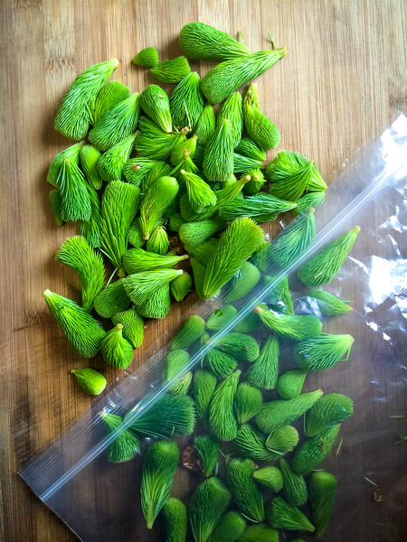 spruce tips in plastic bag.jpg