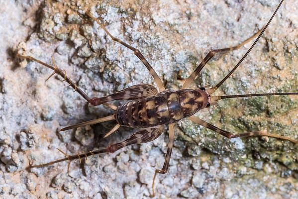 Miotopus