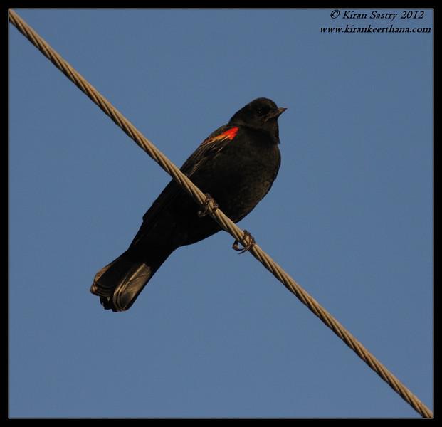 Red-winged Blackbird Male, Cibola National Wildlife Refuge, Arizona, November 2012