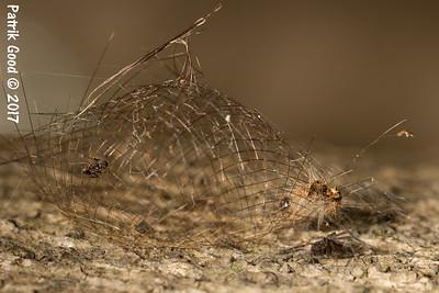 Lichen Tiger Moth