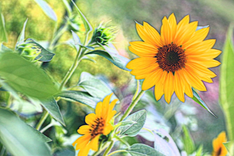Sunflower _2 Topaz Glow Graphic III.jpg