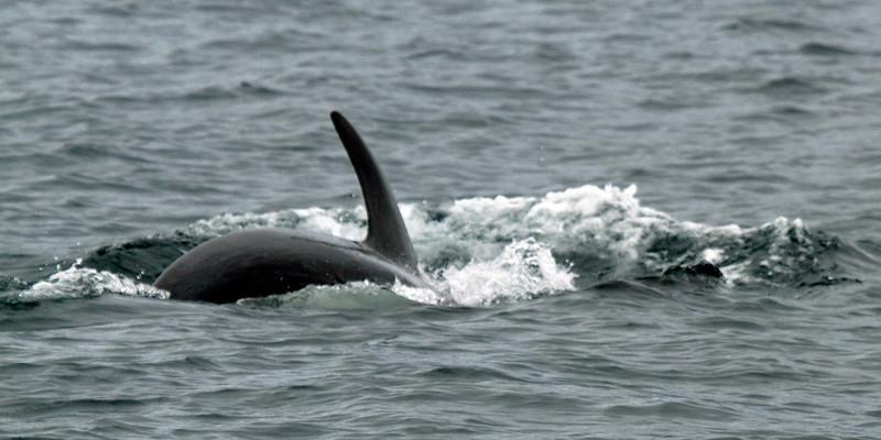 orcasurging.JPG