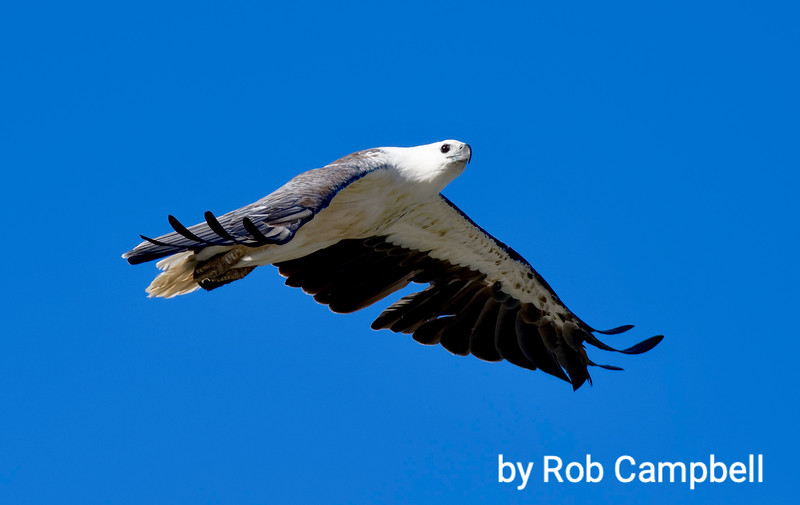 Australian Sea Eagle. Parry Beach, south coast, Western Australia.