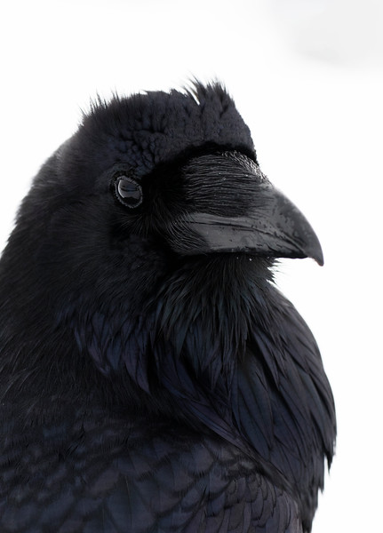 raven profile number 2.jpg