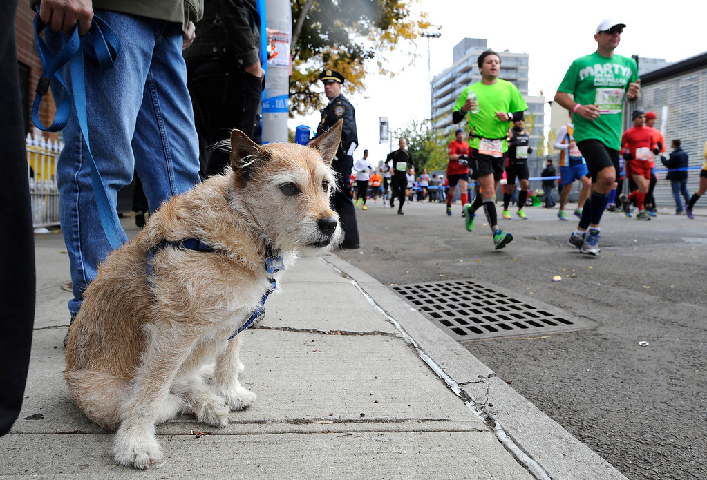 . Baxter, a 3-year-old rescue dog owned by Jade Chin of Woodside, Queens awaits Ian Chin, Jade Chin\'s brother, who is a runner in the New York City Marathon, in the Queens borough of New York, on Sunday, Nov. 3, 2013. New York. (AP Photo/Kathy Kmonicek)