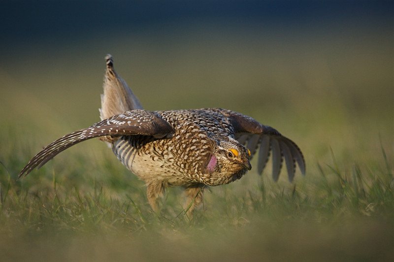 Sharp-tailed Grouse dancing on the lek