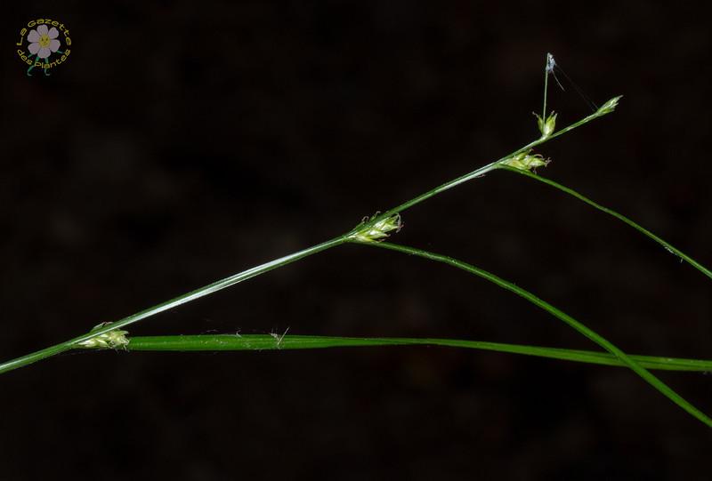 Laiche à épis espacés (Carex remota)