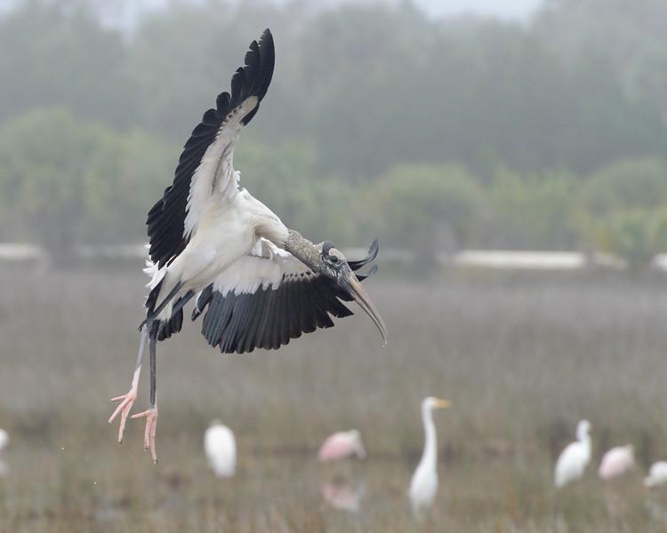 Wood Stork Black Point Wildlife Drive Merritt Island NWR, Florida December 2012