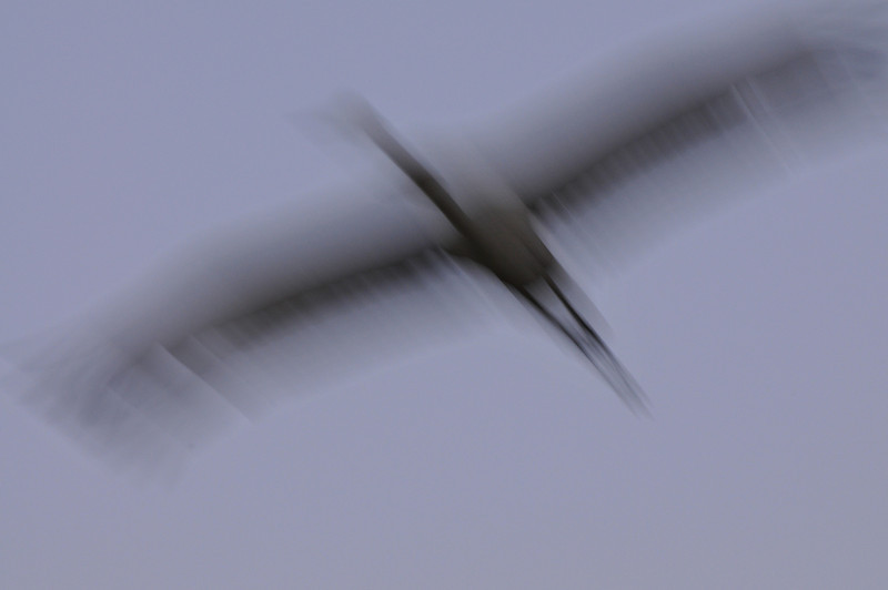Sandhill crane taken with a slow shutter speed. Bosque del Apache, New Mexico