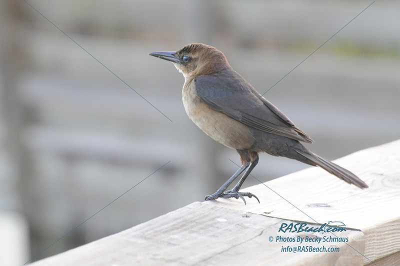 Female Boat-Tailed Grackle_124