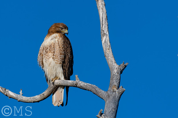 Red Tailed Hawk Image Gallery
