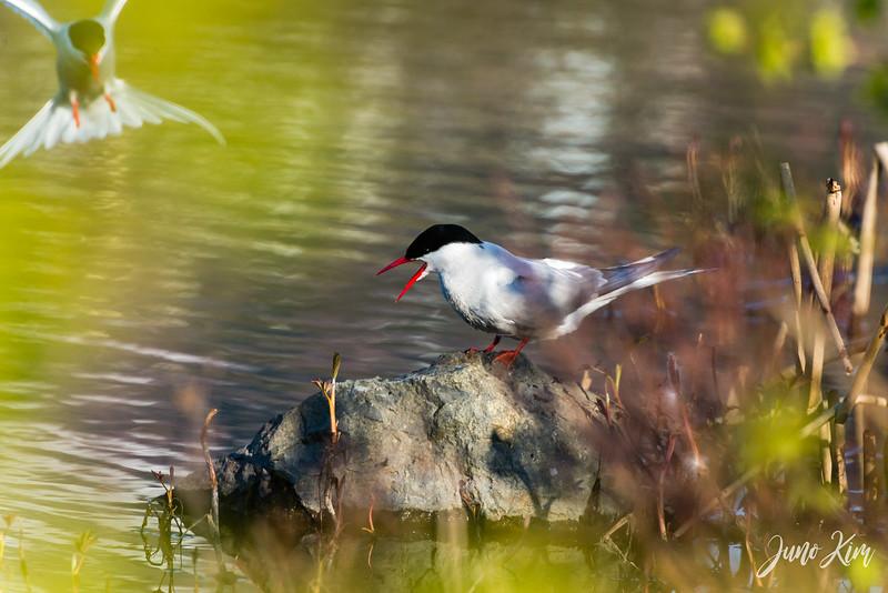 2020-05-12_Potter Marsh bird-_6109592-Juno Kim.jpg