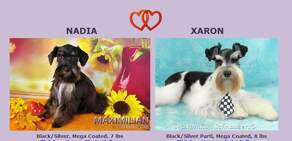 Nadia & Xaron Puppies, DOB 7/01/2020